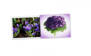 Fête des violettes à Tourrettes-sur-loup