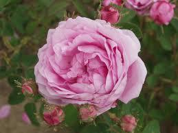 exposition de la rose Grasse